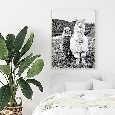 Alpaca vs Photographer Print