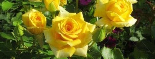 Еллоу Бейб (Yellow Babe)