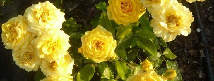 Фрезия (Friesia)