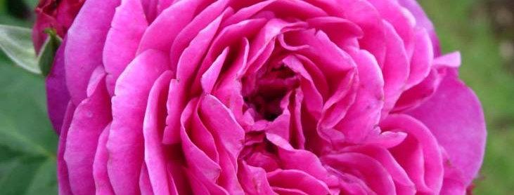 Хейди Клюм Роуз (Heidi Klum Rose)