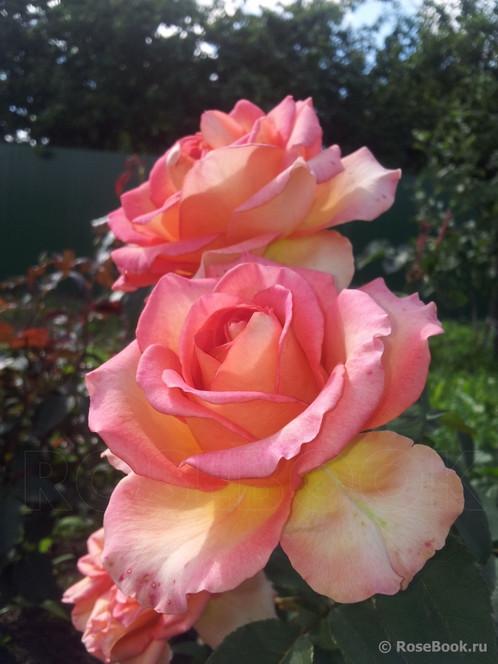 Фантазия мондиаль роза