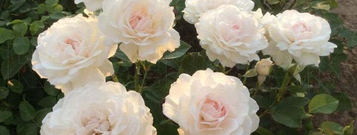 Греат Норт Истерн Роуз (Great North Eastern Rose)