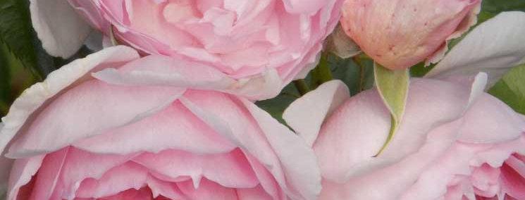 Зе Вэджвуд Роуз (The Wedgwood Rose)