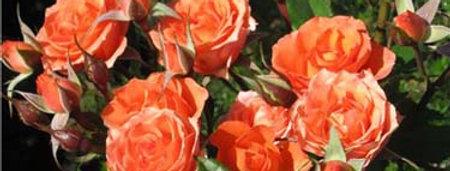 Оранж Спрей (Orange Sprey)