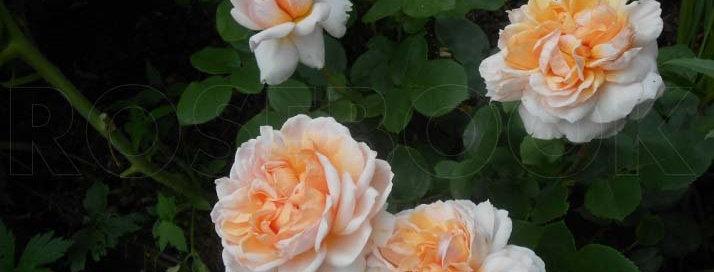 Зе Леди Гарднер (The Lady Gardener)