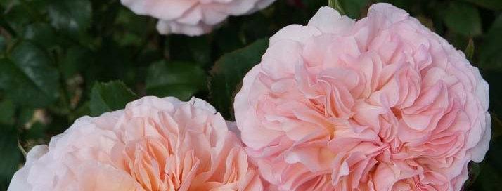 Роз де Толбиак (Rose de Tolbiac)