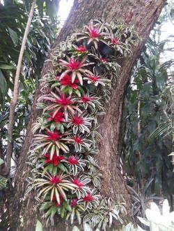 Arbol de Saman decorado