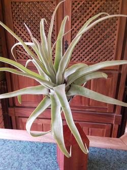 Tillandsia streptophylla.jpg