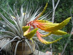 Till fasciculata hondurensis 3.JPG