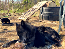 furiosa-the-wolfdog-in-NJ (11).jpg