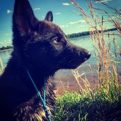 bootlegger-the-wolfdog-puppy--for-sale-i