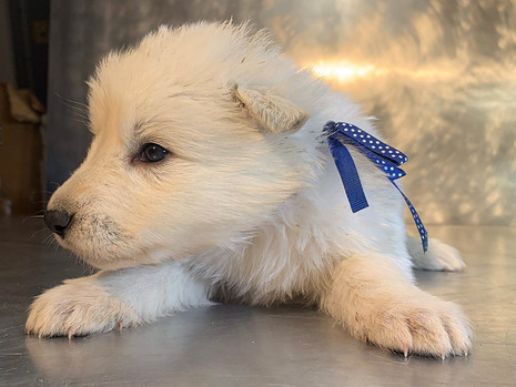 Beast the Berger Blanc Suisse Puppy