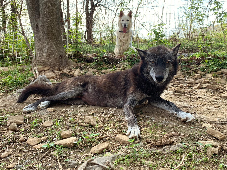 furiosa-the-wolfdog-in-NJ (17).jpg