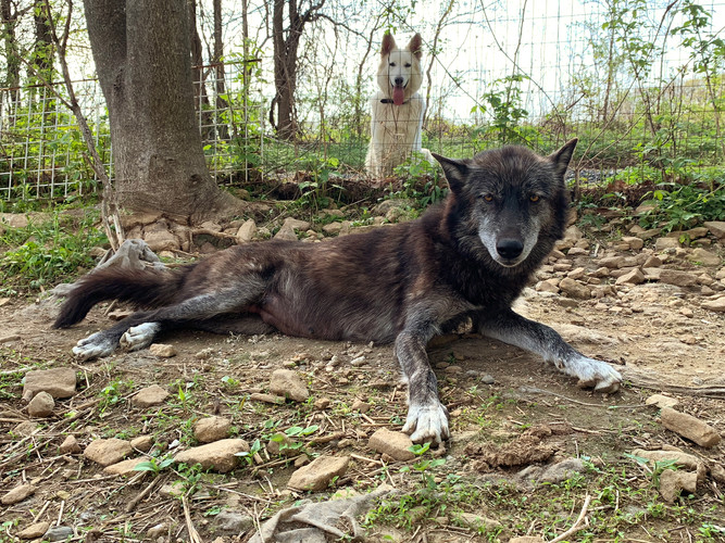 furiosa-the-wolfdog-in-NJ (17).jpg