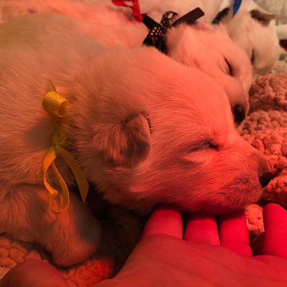aurora-berger-blanc-suisse-puppy-2-weeks