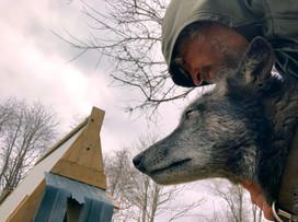furiosa-the-wolfdog-in-NJ (10).jpg