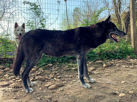 furiosa-the-wolfdog-in-NJ (21).jpg