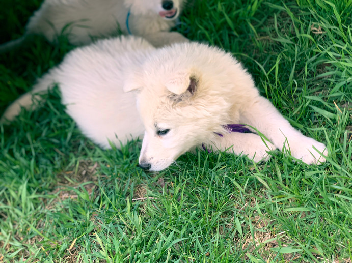 colossus-the-berger-blanc-suisse_190429