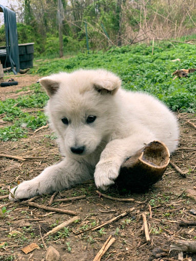 white-swiss-wolfdog-litter_190426 (9).jp