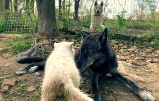 furiosa-the-wolfdog-in-NJ (20).jpg