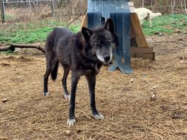 furiosa-the-wolfdog-in-NJ (9).jpg