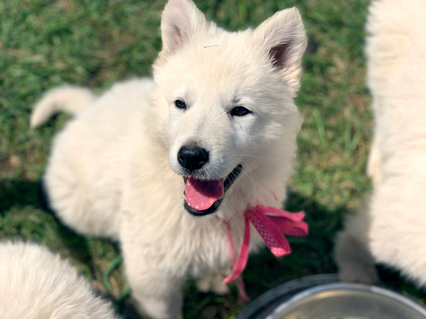 boom-boom-the-berger-blanc-suisse-puppy_