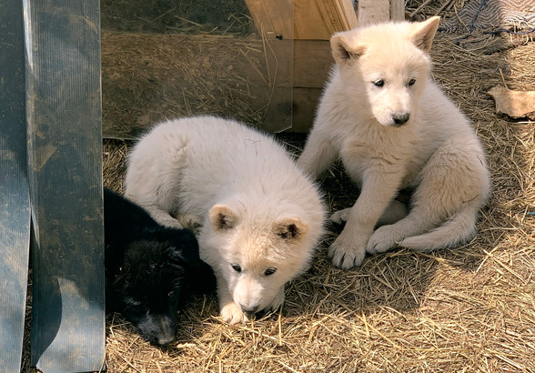 white-swiss-wolfdog-litter_190426 (11).j