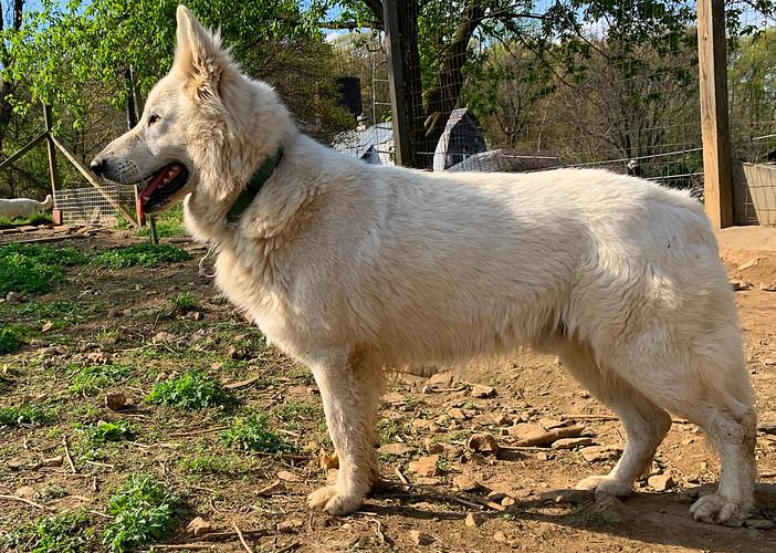 alpha-the-white-swiss-shepherd (16).jpg