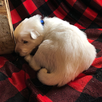 Beast the Berger Blanc Suisse Puppy at T