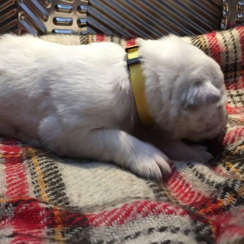 Aurora the Berger Blanc Suisse Puppy at 1.5 Weeks