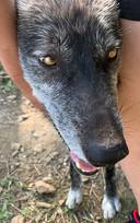 furiosa-the-wolfdog-in-NJ (2).jpg