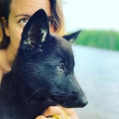 moondragon-the-midcontent-wolfdog-in-NJ