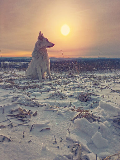 Berger Blanc Suisse in front of sunrise