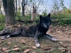 furiosa-the-wolfdog-in-NJ (18).jpg