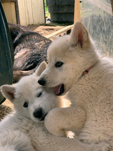 white-swiss-wolfdog-litter_190426 (14).j