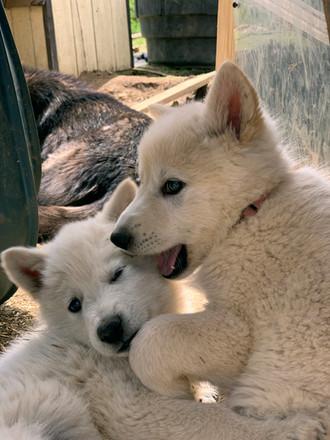 white-swiss-wolfdog-litter_190426 (14).j