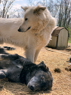 white-swiss-wolfdog-litter_190415 (11).j