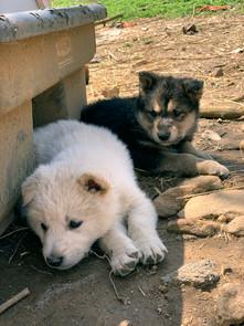 white-swiss-wolfdog-litter_190415 (12).j
