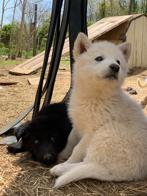 white-swiss-wolfdog-litter_190426 (12).j