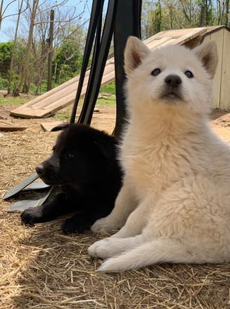 white-swiss-wolfdog-litter_190426 (13).j