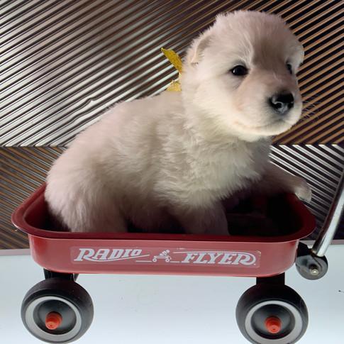 aurora-berger-blanc-suisse-puppy-3-weeks