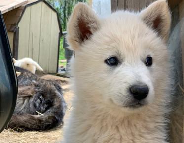white-swiss-wolfdog-litter_190426 (16).j