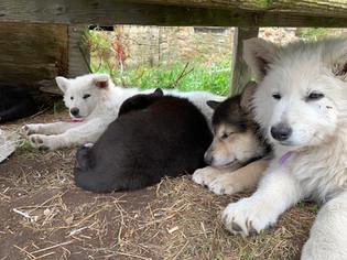 white-swiss-wolfdog-litter_190501.jpg
