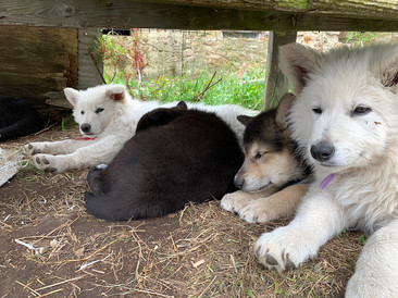 white-swiss-wolfdog-litter_190501.jpg