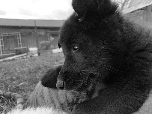 white-swiss-wolfdog-litter_190501 (5).jp
