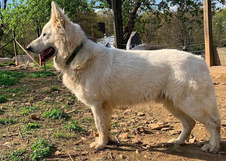 alpha-the-white-swiss-shepherd (15).jpg