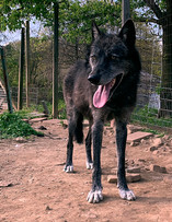 furiosa-the-wolfdog-in-NJ (4).jpg