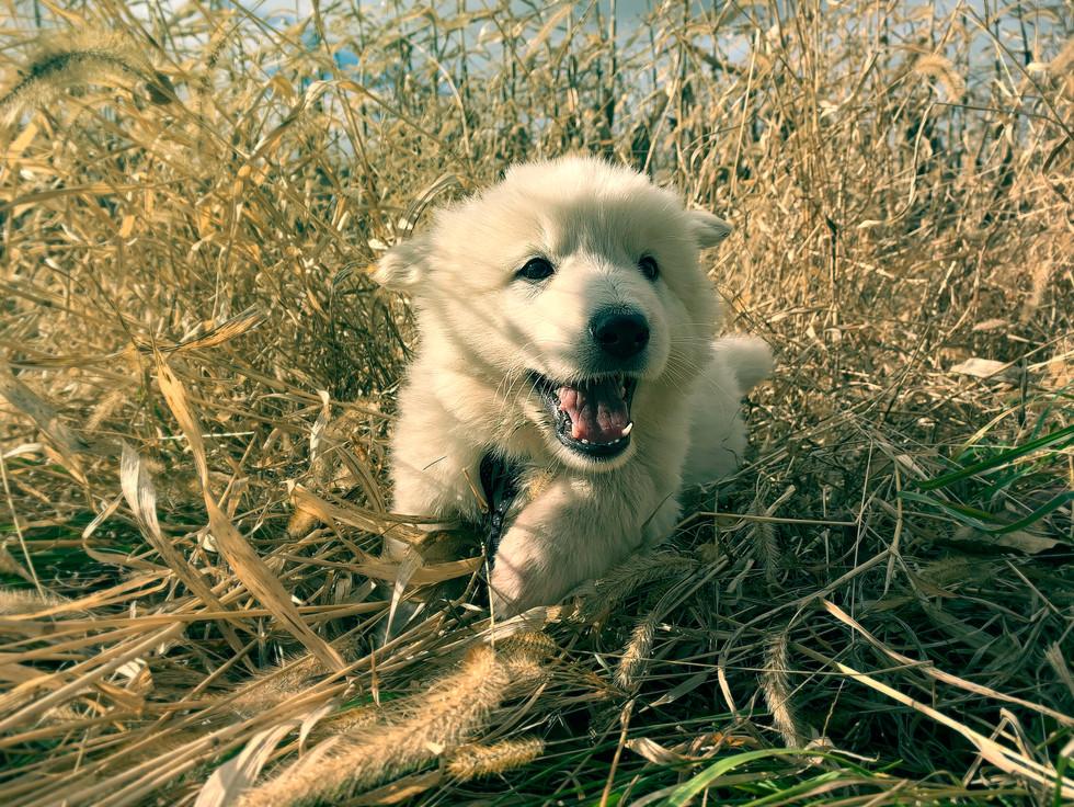 white-swiss-shepherd-for-sale-in-NJ_BLAC