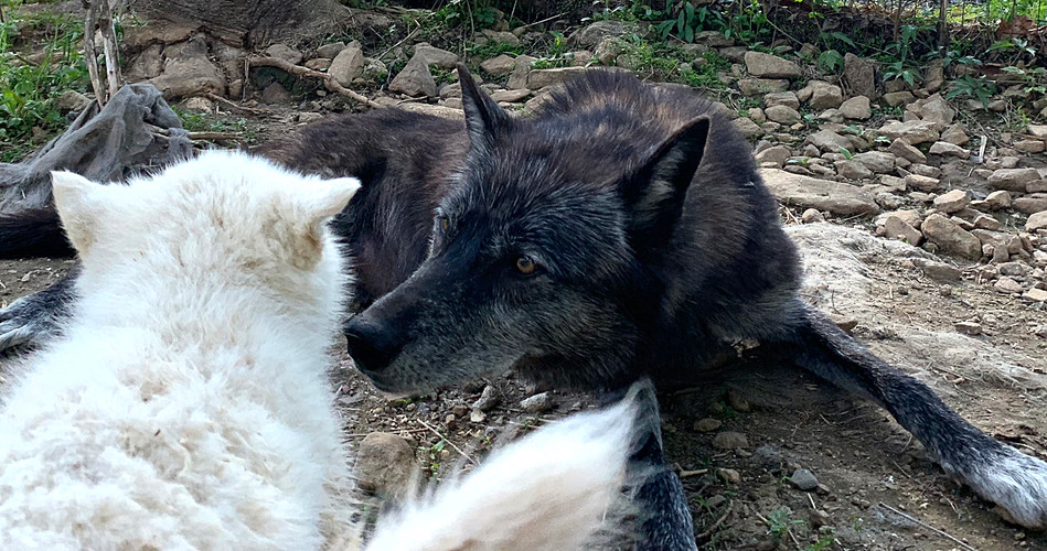 furiosa-the-wolfdog-in-NJ (19).jpg