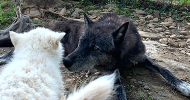 furiosa-the-wolfdog-in-NJ (19).jpg